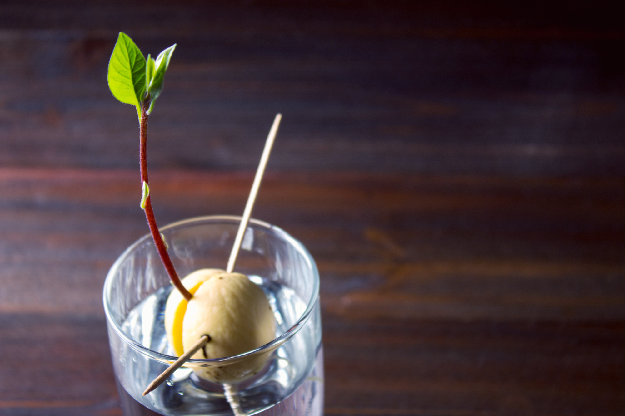 How to grow your own avocado tree at home