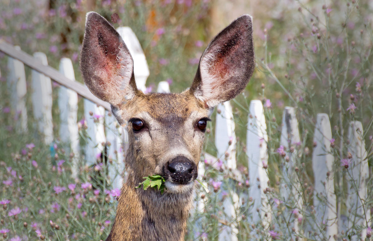 Deer, moles, and other garden pests