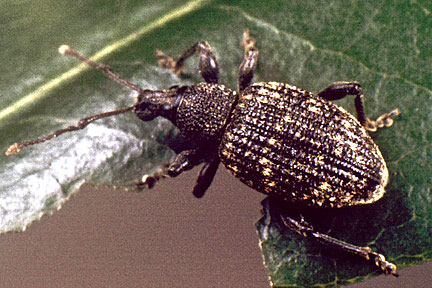 Vine weevil identification picture