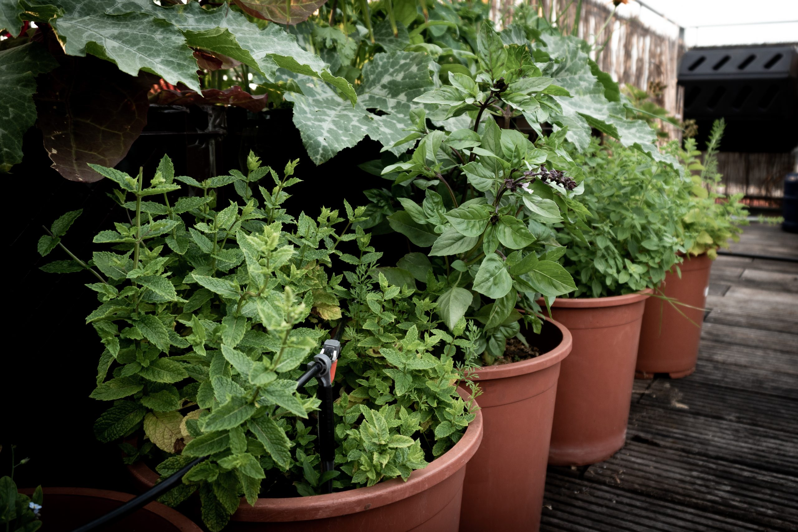 a few of the best medicinal herbs to grow outdoors in pots