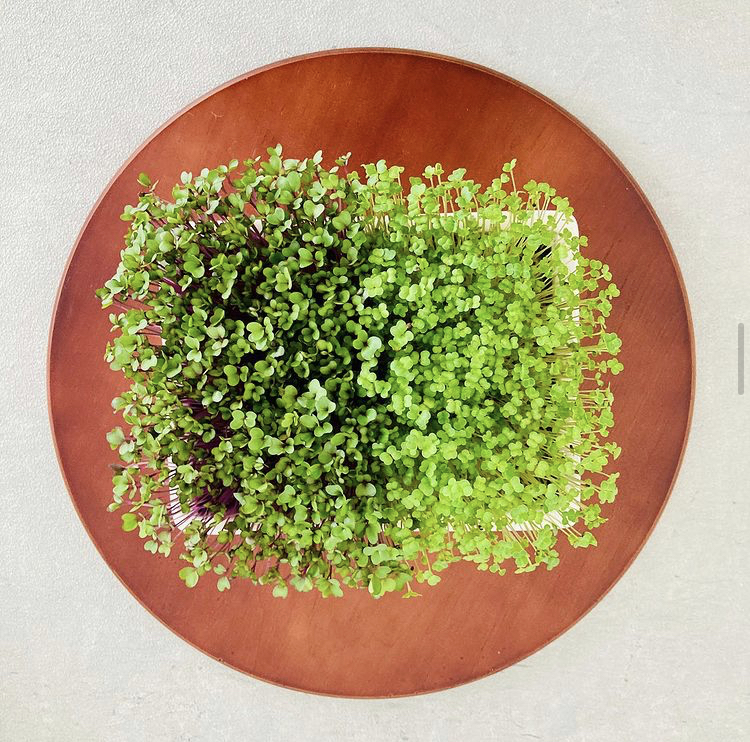 Red cabbage and broccoli microgreens growing indoor in a plate