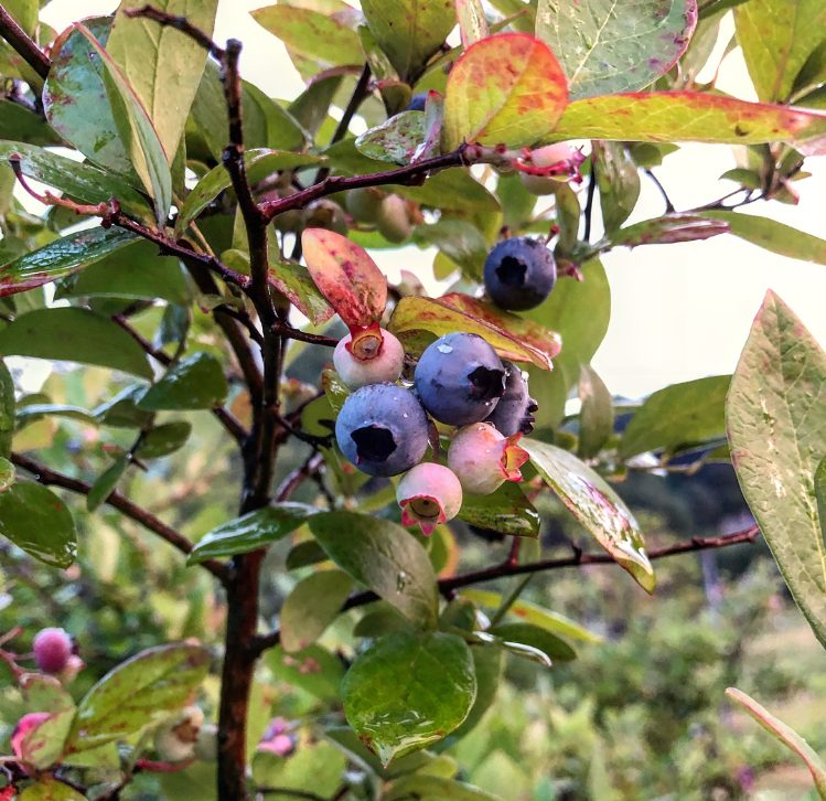 ripe blueberries on a tree
