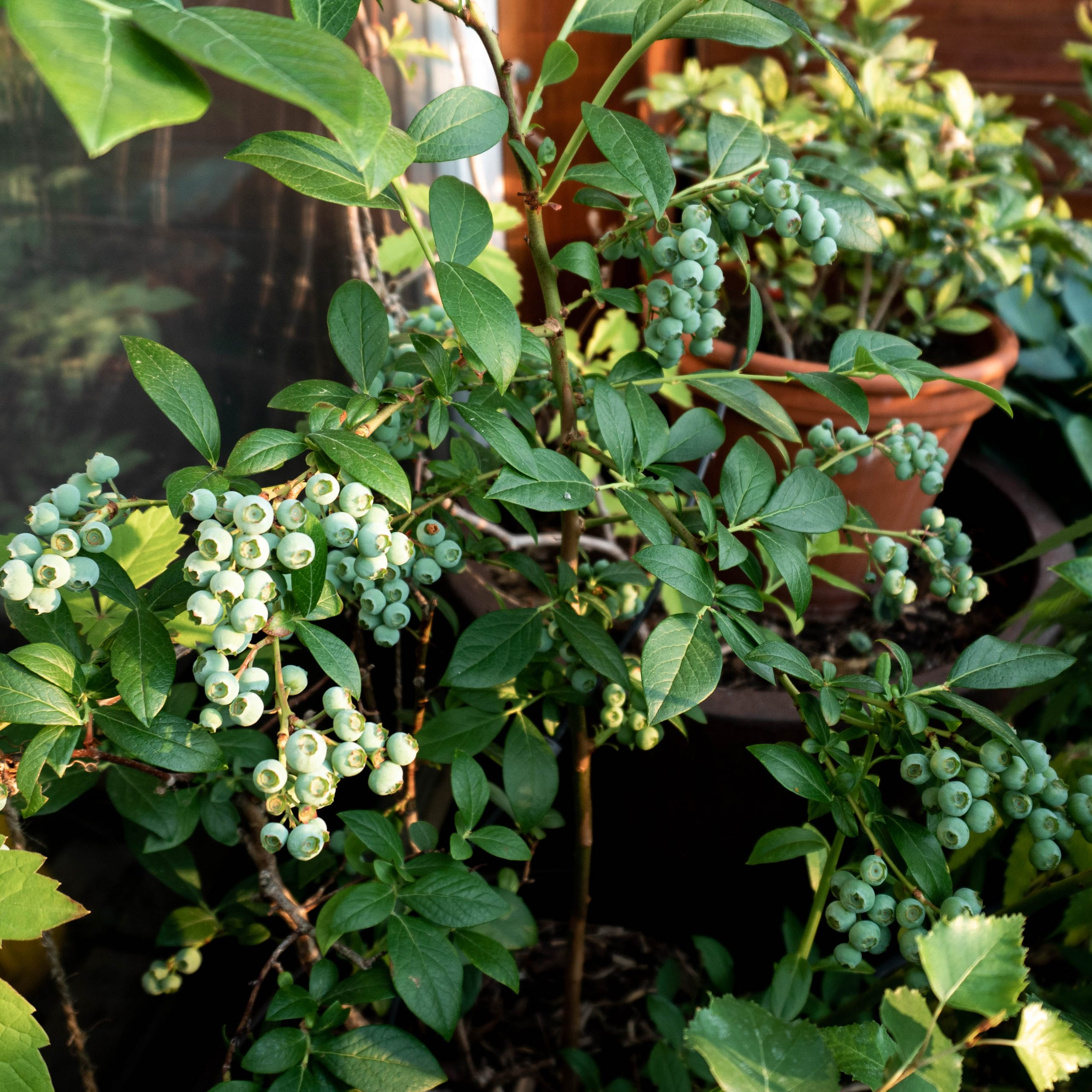 pruned blueberry bush with unripe berries