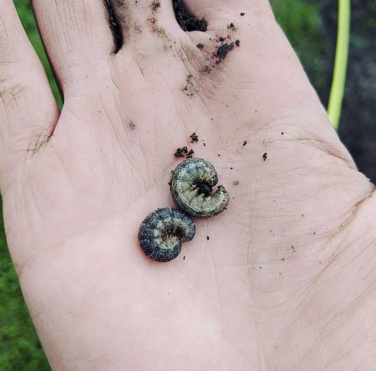 cutworm identification picture