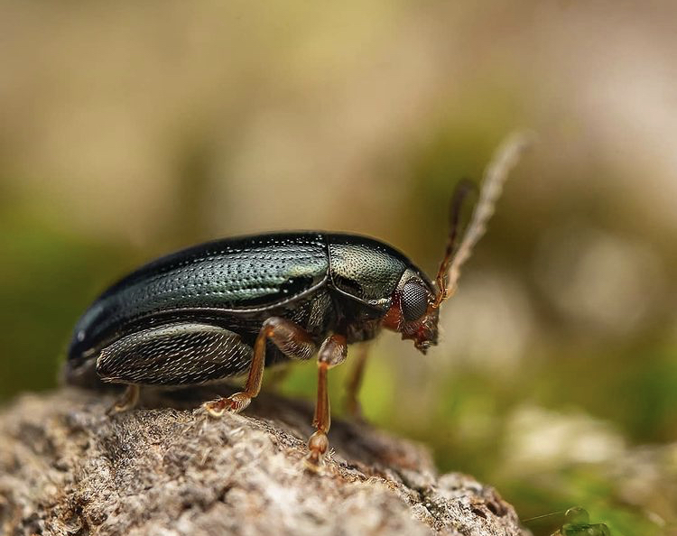 flea beetle identification picture