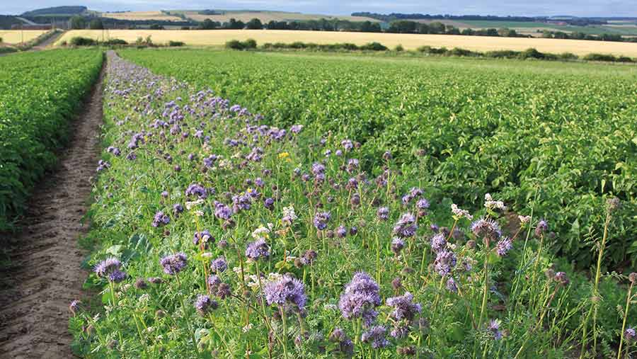 a field of wildflowers as companion planting for potatoes
